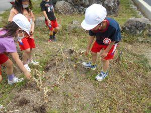 たまねぎを収穫する園児