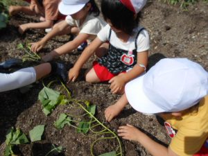サツマイモの苗を植える園児