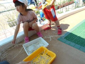 菜種取りをする園児